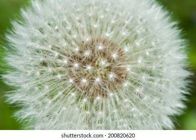 Dandelion seed head closeup