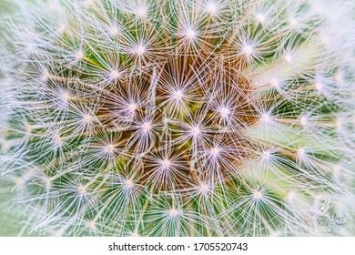 Dandelion Seed Head Macro Stars
