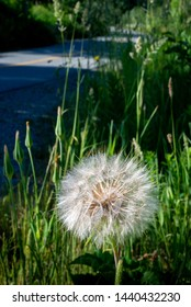 A dandelion seed head nearing the point of seed dispersal as tiny parachutes.