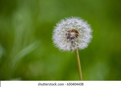 Dandelion Seed Head on Green Background