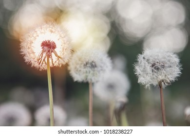 Dandelion seed heads at sunset