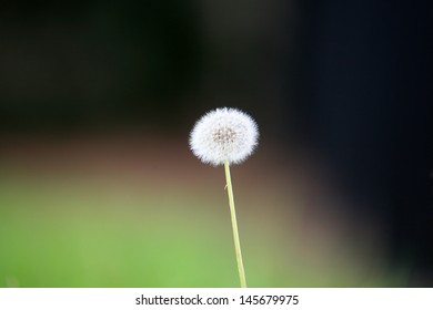 Dandelion Seed shot with a low depth of field outside in the grass The species of Taraxacum are tap-rooted biennial or perennial herbaceous plants, native to temperate areas of the Old and New worlds