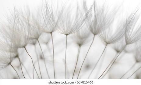 Dandelion Seedling