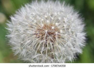 Dandelion seeds background. Little fluffy white Dandelion in the meadow