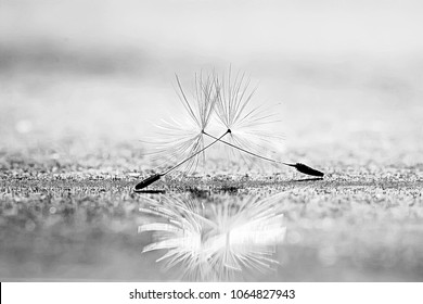 dandelion seeds black background concept lightness