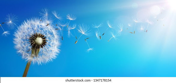 Dandelion With Seeds Blowing Away Blue Sky