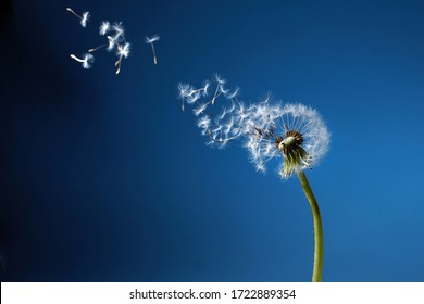 Dandelion with seeds blowing away in the wind in blue sky.