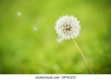Dandelion seeds blowing away in the wind