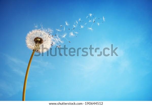 Kronleuchter mit Samen, die im Wind über einen klaren blauen Himmel mit Kopienraum hinwegblasen