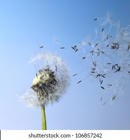 dandelion seeds in blue back