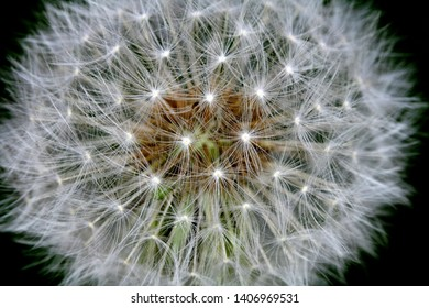 Dandelion Seeds Close Up Black Background Abstract