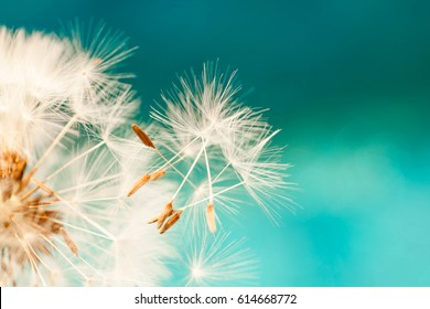 dandelion seeds close up blowing in blue turquoise background