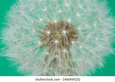 Dandelion Seeds Close Up Blue Background Abstract