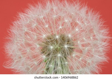 Dandelion Seeds Close Up On Red Pink Background Abstract