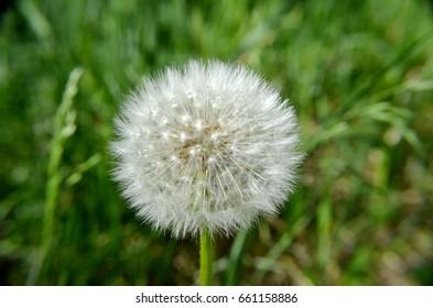 dandelion seeds, closeup, green background