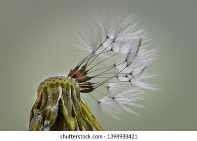 Dandelion seeds in closeup in spring