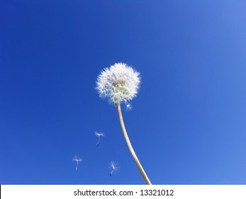 Dandelion seeds floating on blue sky … Wishes