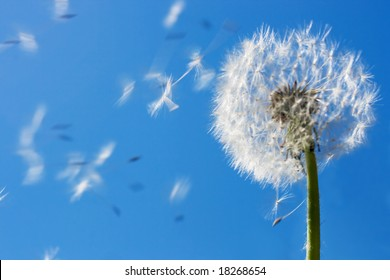 Dandelion seeds flying in the blue sky. Useful for spring themes or serenity, joy, freshness concepts. Space for copy.