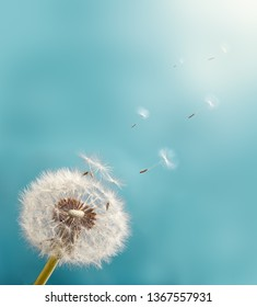Dandelion with seeds flying into the sky. Macro Photo