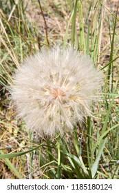 Dandelion seeds in a grass background