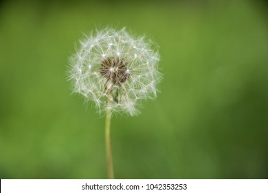 Dandelion with seeds in grassy lawn closeup