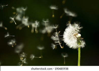 Dandelion seeds in the morning mist blowing away across a dark background