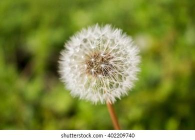 Dandelion seeds in the morning on the green background
