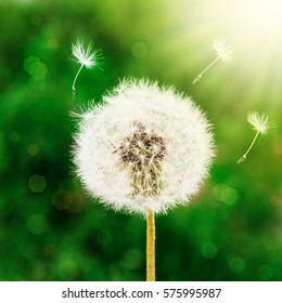 Dandelion seeds in the morning sunlight blowing away across