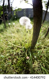Dandelion seeds with natural background. Fisheye lens effects