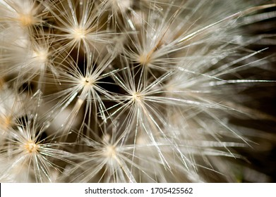 dandelion seeds on black background