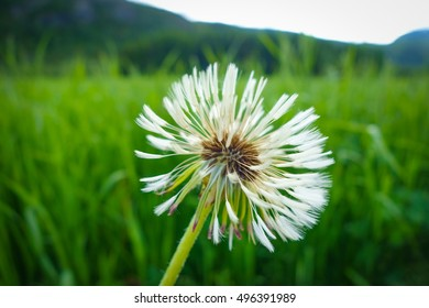 Dandelion with seeds on green meadow
