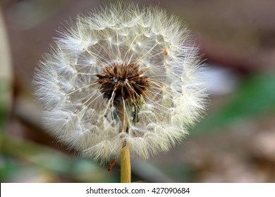 Dandelion seeds ready for dispersal