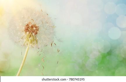Dandelion seeds in sunlight