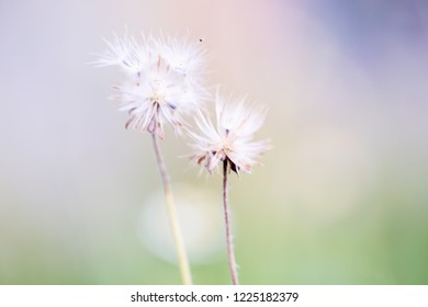 Dandelion seeds in the sunlight blowing away a fresh pink background