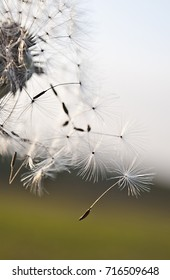 Dandelion seeds in the sunlight blowing away across a fresh green morning background
