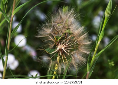 Dandelion seeds in the sunlight. The head of a mature dandelion with flying seeds and a view inside a dandelion on a natural background close-up. The wind blows off the mature volatile seeds