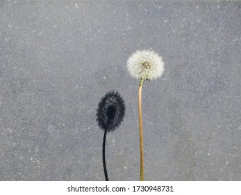 a dandelion and it's shadow on a gray stone wall