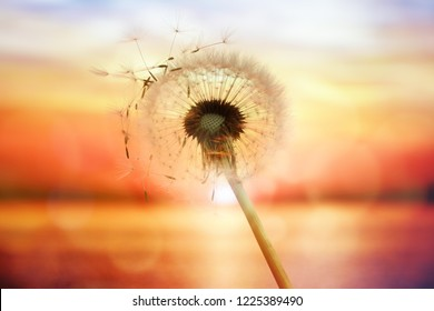 Dandelion silhouette against sunset over the sea with seeds blowing in the wind