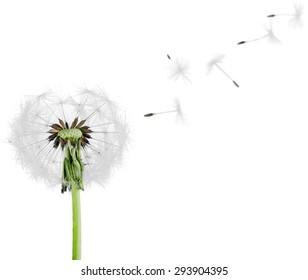 Dandelion, Single Flower, Flower.