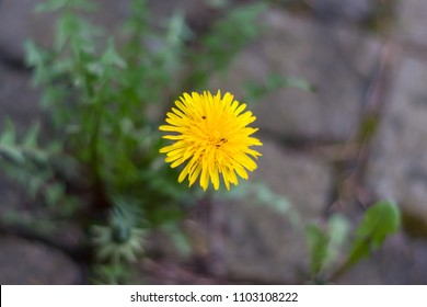 Dandelion with small bugs growing on the pavement