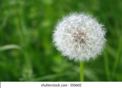 dandelion solo - past blossom