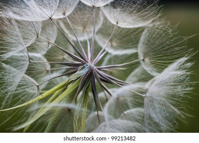 A dandelion with some seeds blown away