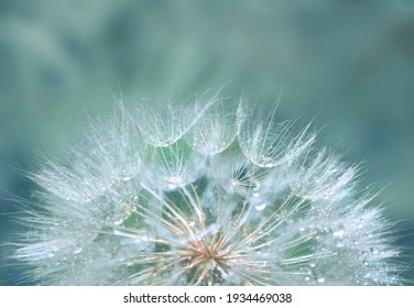 Dandelion with sparkling raindrops on a blue, turquoise background with soft focus. Beautiful background with dandelion seeds covered with water drops, closeup.