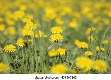 dandelion at spring day
