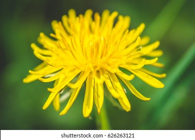 Dandelion. Spring flower. Bee likes to gather pollen from this flower.