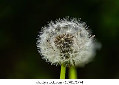 dandelion in spring, flowers in the park