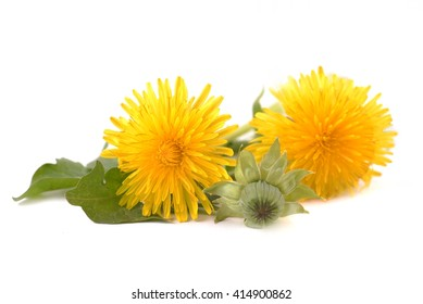 Dandelion - spring flowers. Yellow flowers isolated on white background.