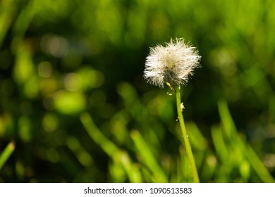 Dandelion in spring light
