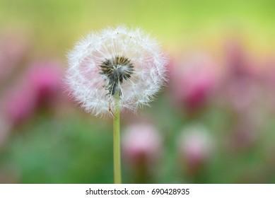 Dandelion in spring - may 2016