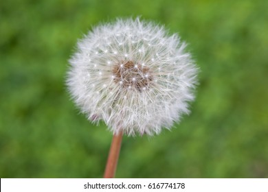Dandelion in spring time, nature, flora.